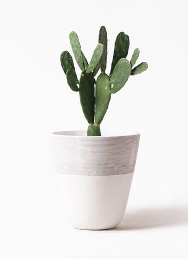 観葉植物 ウチワサボテン 8号 ジュピター 白 付き
