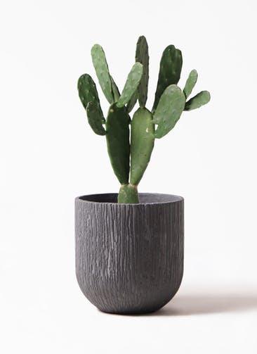 観葉植物 ウチワサボテン 8号 カルディナダークグレイ 付き