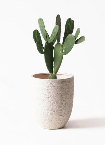 観葉植物 ウチワサボテン 8号 ビアスアルトエッグ 白 付き