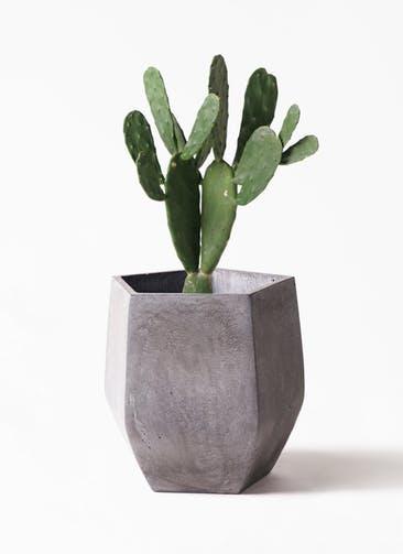 観葉植物 ウチワサボテン 8号 ファイバークレイ Gray 付き
