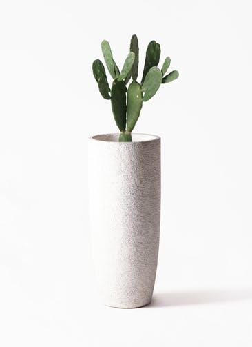 観葉植物 ウチワサボテン 8号 エコストーントールタイプ white 付き