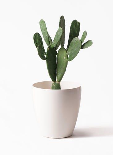 観葉植物 ウチワサボテン 8号 ラスターポット 付き