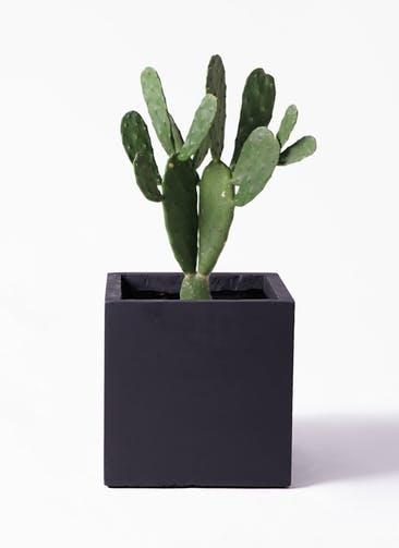 観葉植物 ウチワサボテン 8号 ベータ キューブプランター 黒 付き