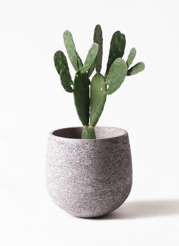 観葉植物 ウチワサボテン 8号 エコストーンGray 付き