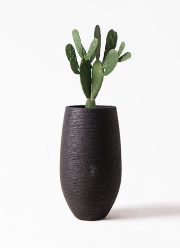 観葉植物 ウチワサボテン 8号 フォンティーヌトール 黒 付き