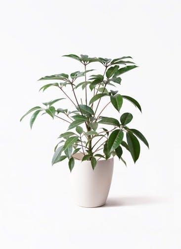 観葉植物 ツピダンサス 8号 ボサ造り ラスターポット 付き