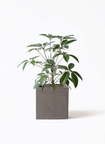 観葉植物 ツピダンサス 8号 ボサ造り コンカー キューブ  灰 付き