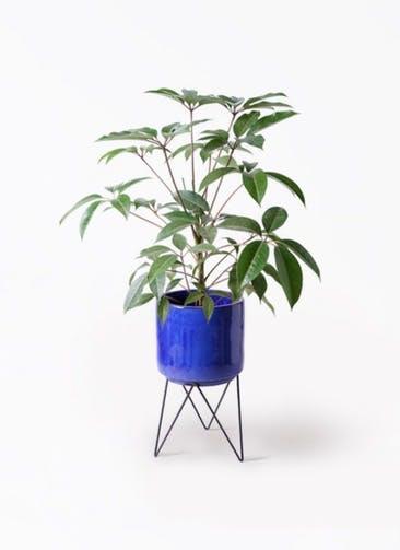観葉植物 ツピダンサス 8号 ボサ造り ビトロ エンデカ ブルー アイアンポットスタンド ブラック 付き