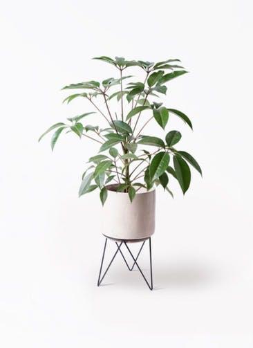 観葉植物 ツピダンサス 8号 ボサ造り ビトロ エンデカ クリーム アイアンポットスタンド ブラック 付き