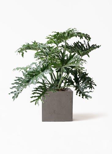 観葉植物 セローム ヒトデカズラ 8号 ボサ造り コンカー キューブ 灰 付き