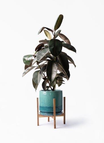 観葉植物 フィカス バーガンディ 8号 ノーマル ビトロ エンデガ ターコイズ ウッドポットスタンド付き