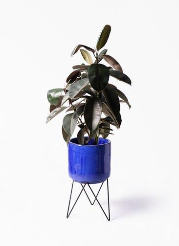観葉植物 フィカス バーガンディ 8号 ノーマル ビトロ エンデカ ブルー アイアンポットスタンド ブラック 付き