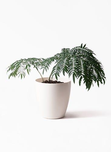 観葉植物 リュウビンタイ 8号 ラスターポット 付き