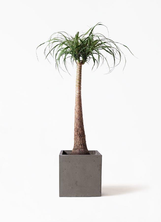 観葉植物 トックリラン ポニーテール 8号 コンカー キューブ 灰 付き