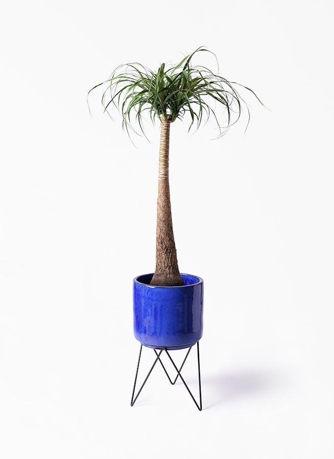 観葉植物 トックリラン ポニーテール 8号 ビトロ エンデカ ブルー アイアンポットスタンド ブラック 付き