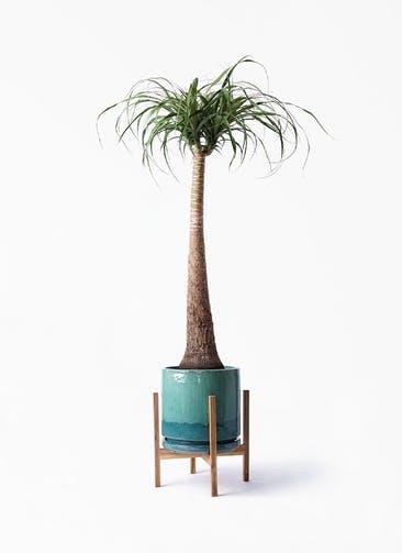 観葉植物 トックリラン ポニーテール 8号 ビトロ エンデガ ターコイズ ウッドポットスタンド付き