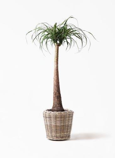 観葉植物 トックリラン ポニーテール 8号 モンデリック ラタン 付き