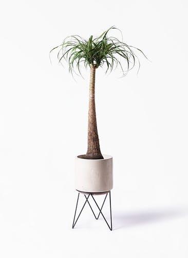 観葉植物 トックリラン ポニーテール 8号 ビトロ エンデカ クリーム アイアンポットスタンド ブラック 付き