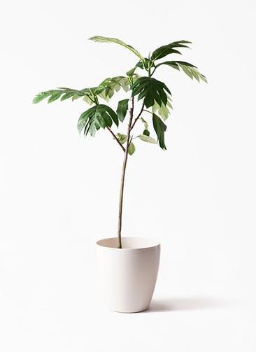 観葉植物 パンノキ 8号 ラスターポット 付き