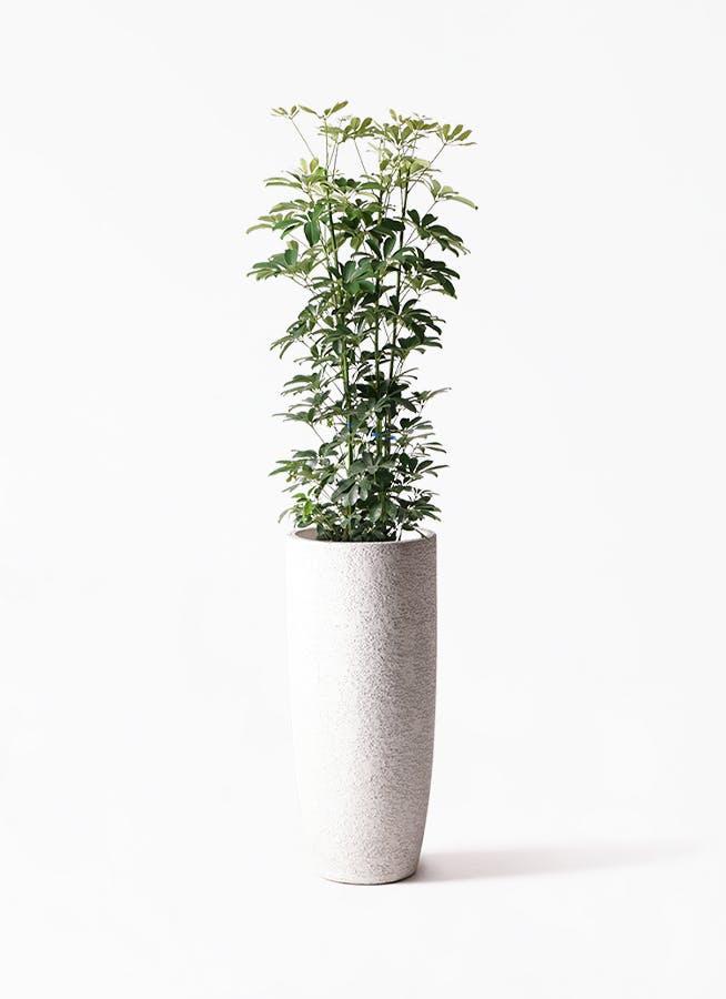 観葉植物 カポック(シェフレラ) 8号 ノーマル エコストーントールタイプ white 付き