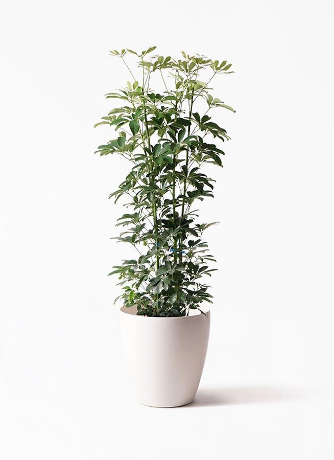 観葉植物 カポック(シェフレラ) 8号 ノーマル ラスターポット 付き