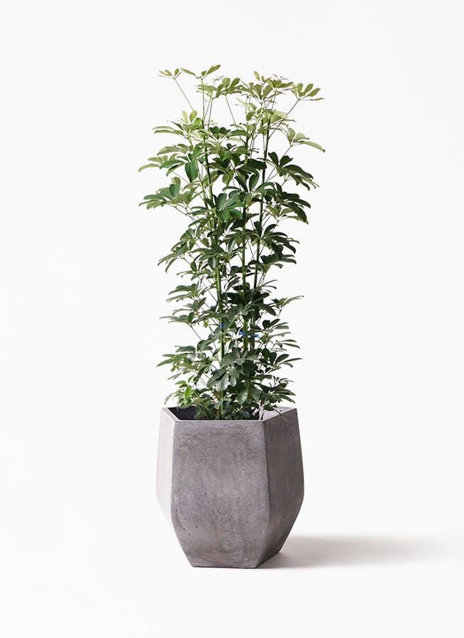 観葉植物 カポック(シェフレラ) 8号 ノーマル ファイバークレイGray 付き