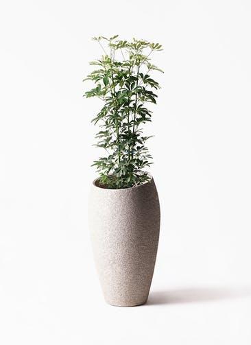 観葉植物 カポック(シェフレラ) 8号 ノーマル エコストーントールタイプ Light Gray 付き