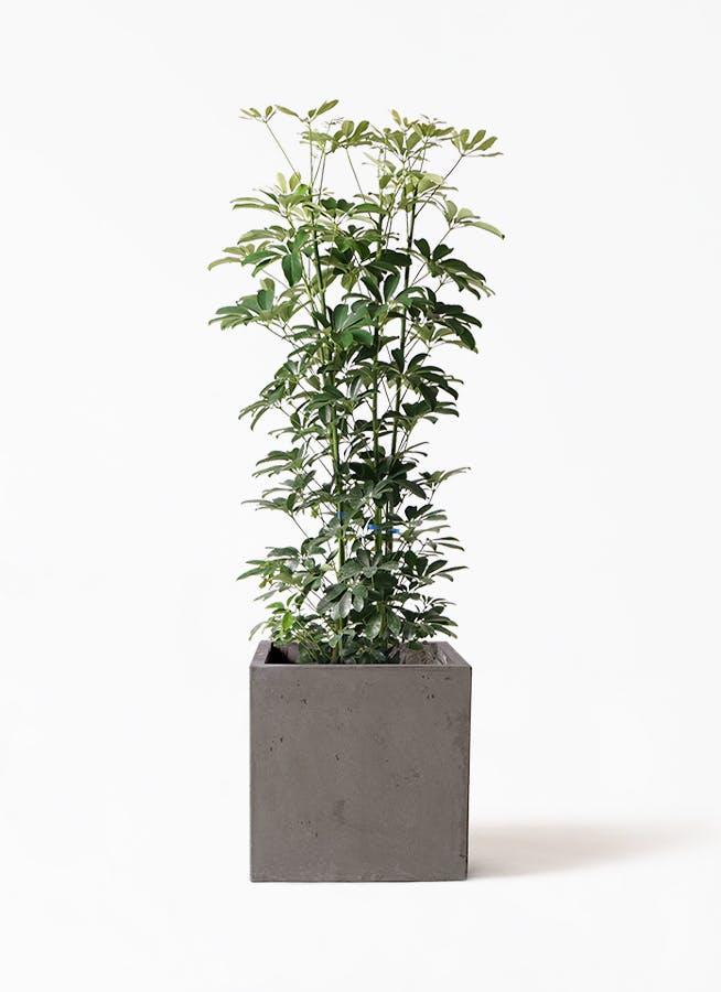 観葉植物 カポック(シェフレラ) 8号 ノーマル コンカー キューブ 灰 付き