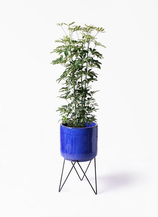 観葉植物 カポック(シェフレラ) 8号 ノーマル ビトロ エンデカ ブルー アイアンポットスタンド ブラック 付き