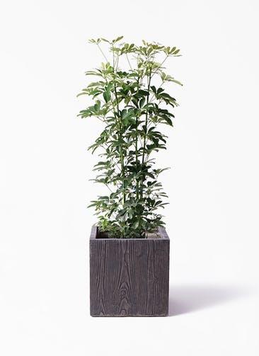 観葉植物 カポック(シェフレラ) 8号 ノーマル ベータ キューブプランター ウッド 茶 付き