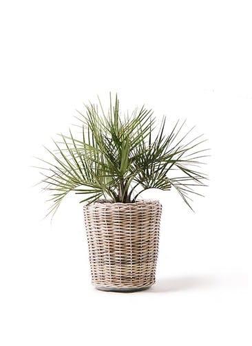 観葉植物 ココスヤシ (ヤタイヤシ) 10号 モンデリック ラタン 付き