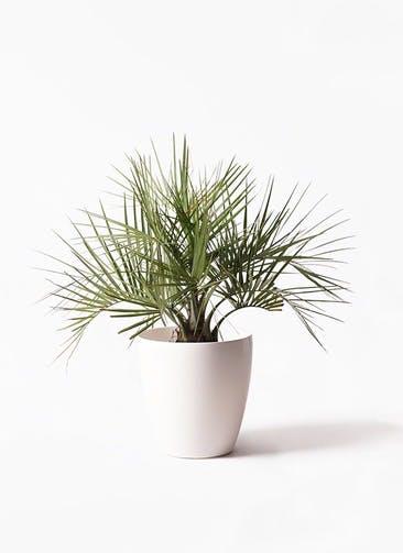 観葉植物 ココスヤシ (ヤタイヤシ) 10号 ラスターポット 付き