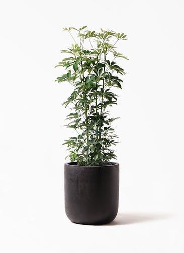 観葉植物 カポック(シェフレラ) 8号 ノーマル エルバ 黒 付き