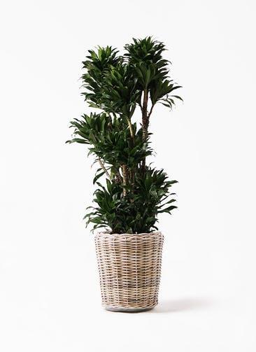 観葉植物 ドラセナ コンパクター 10号 モンデリック ラタン 付き