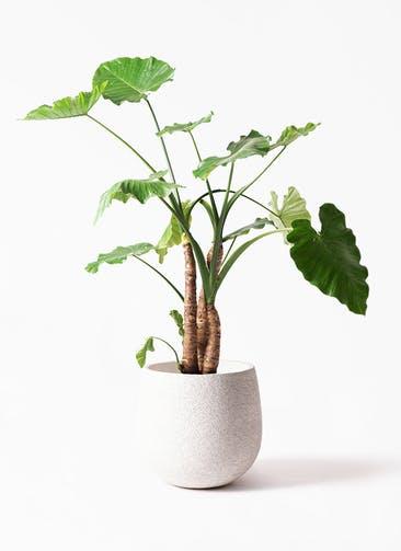 観葉植物 クワズイモ 10号 エコストーンwhite 付き