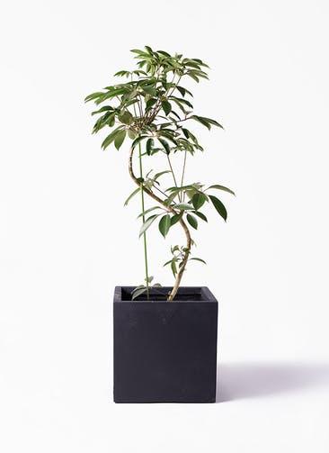 観葉植物 ツピダンサス 10号 曲り ベータ キューブプランター 黒 付き