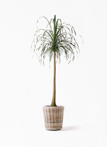 観葉植物 トックリラン ポニーテール 10号 モンデリック ラタン 付き