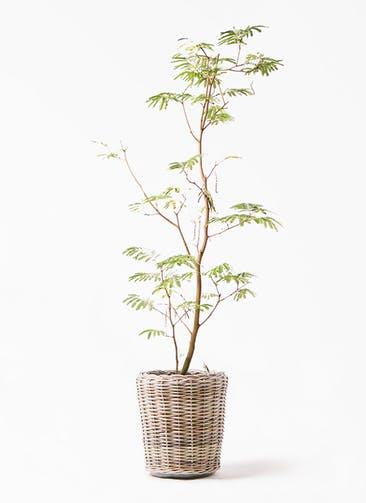 観葉植物 エバーフレッシュ 10号 ボサ造り モンデリック ラタン