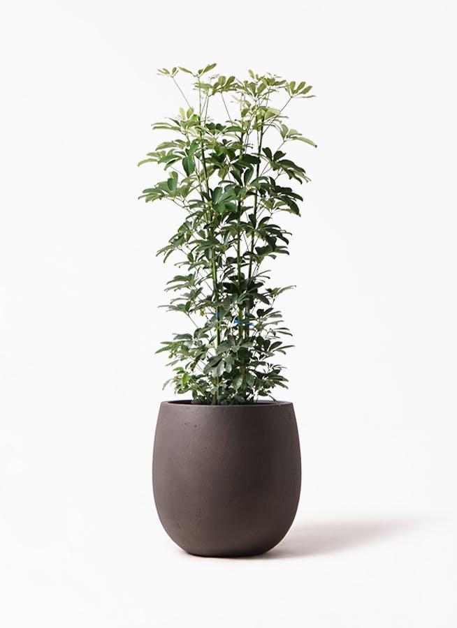 観葉植物 カポック(シェフレラ) 8号 ノーマル テラニアス バルーン アンティークブラウン 付き
