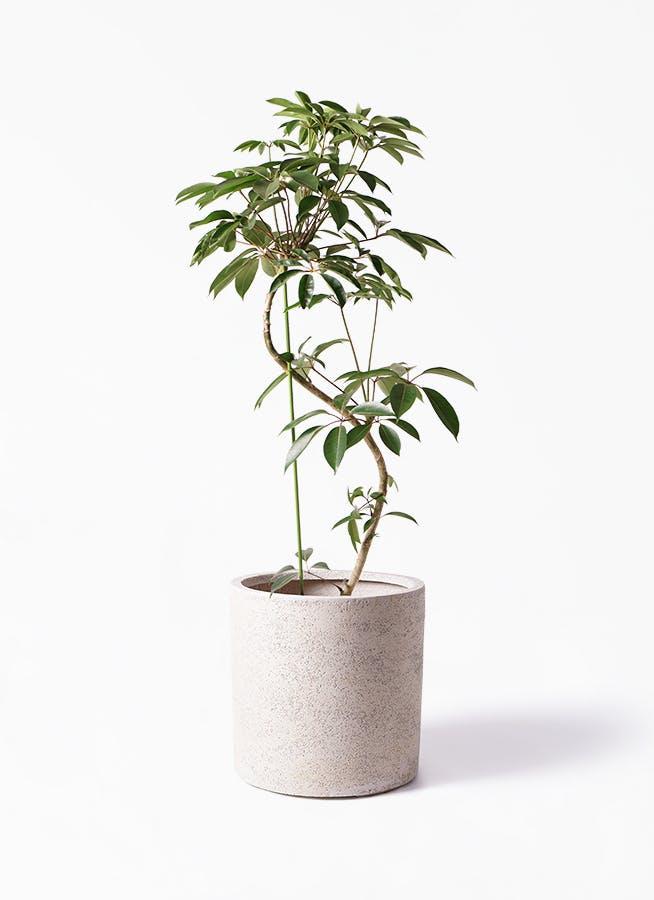 観葉植物 ツピダンサス 10号 曲り サンディ シリンダー 白 付き