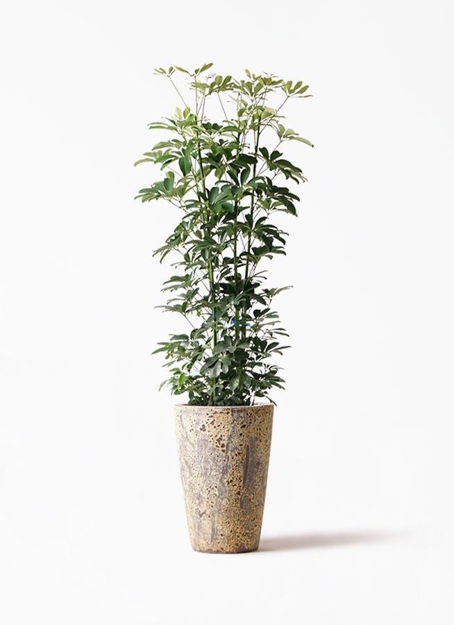 観葉植物 カポック(シェフレラ) 8号 ノーマル アトランティス クルーシブル 付き