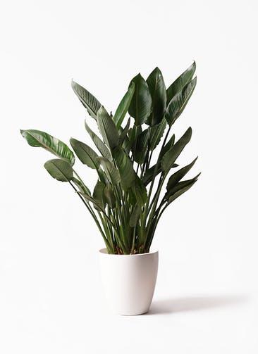 観葉植物 ストレリチア レギネ 10号 ラスターポット 付き