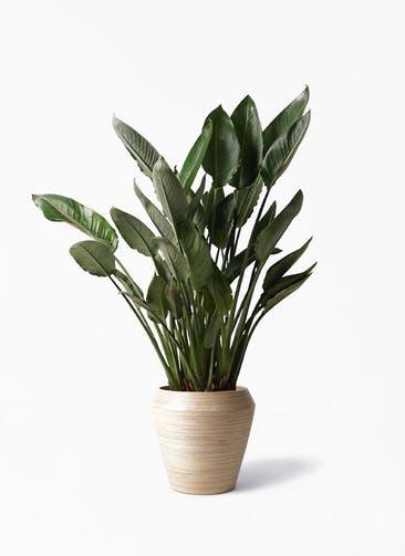 観葉植物 ストレリチア レギネ 10号 アルマ ミドル 付き