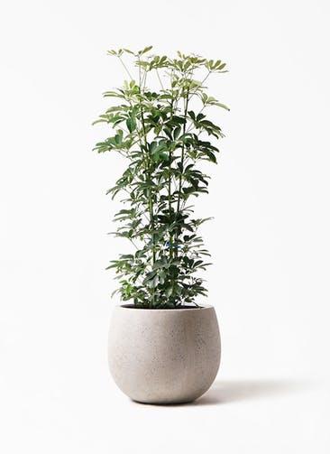観葉植物 カポック(シェフレラ) 8号 ノーマル テラニアス ローバルーン アンティークホワイト 付き