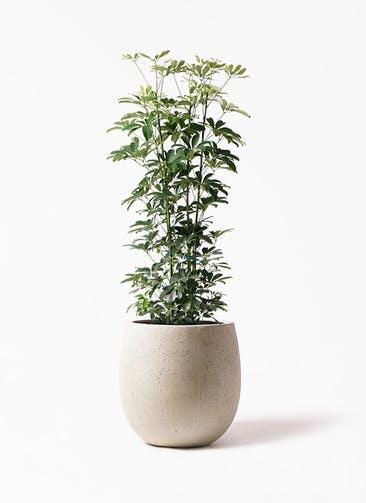 観葉植物 カポック(シェフレラ) 8号 ノーマル テラニアス バルーン アンティークホワイト 付き