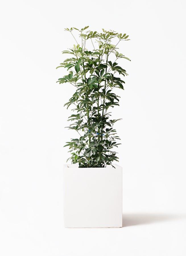 観葉植物 カポック(シェフレラ) 8号 ノーマル バスク キューブ 付き