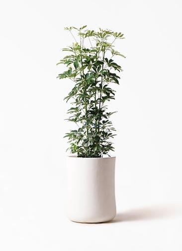 観葉植物 カポック(シェフレラ) 8号 ノーマル バスク ミドル ホワイト 付き