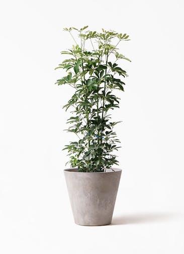 観葉植物 カポック(シェフレラ) 8号 ノーマル アートストーン ラウンド グレー 付き