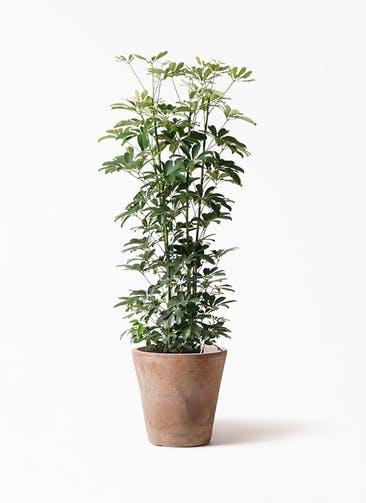 観葉植物 カポック(シェフレラ) 8号 ノーマル ルーガ アンティコ ソリッド 付き