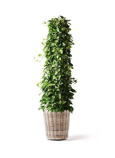 観葉植物 ポトス 10号 モンデリック ラタン 付き